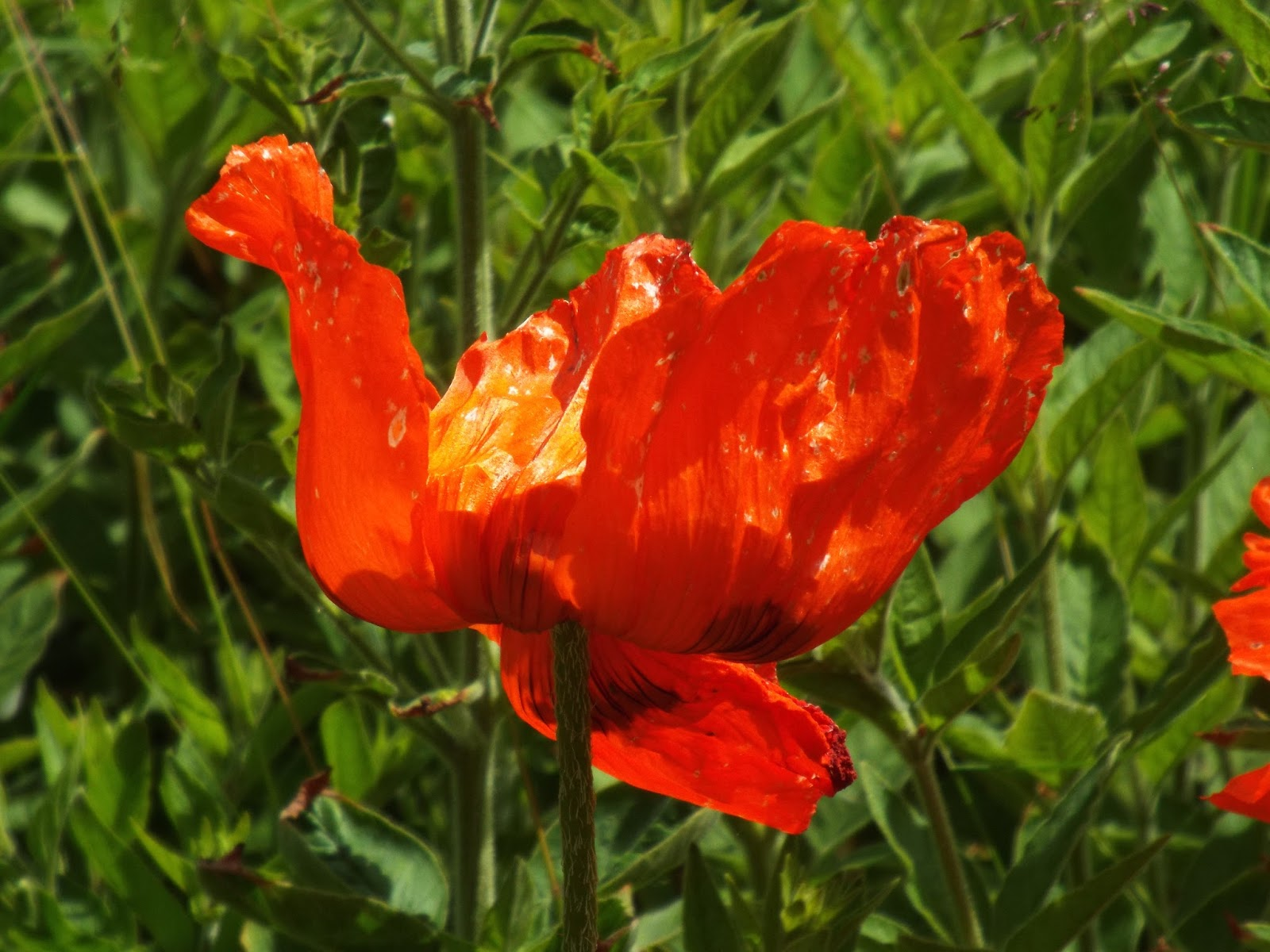 poppies in july analysis H/t poppies in july image 'little poppieslittlehell flames, do you dono harm' the repetition of 'little' and the addressing of the question to the poppies.