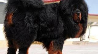 4. Mastiff Tibet, Rp 33 juta-94 juta