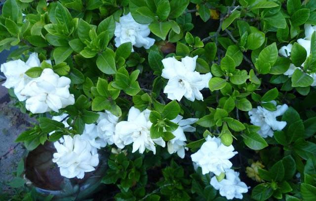 CÂY HOA NHÀI - Jasminum sambac - Nguyên liệu làm Thuốc Ngủ, An Thần, Trấn Kinh