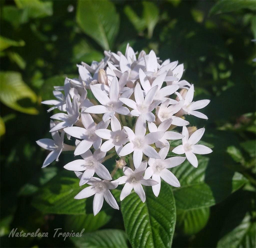 Naturaleza Tropical: Flor estrellita de jardín nombre común de ...