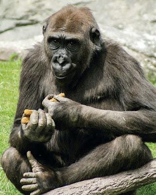 Gorilas são mais próximos dos humanos do que se pensava