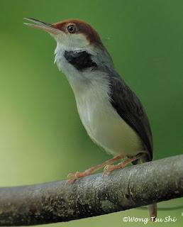 Burung Ciblek - Jenis Burung Ciblek Prinia Inornata - Penangkaran Burung Ciblek