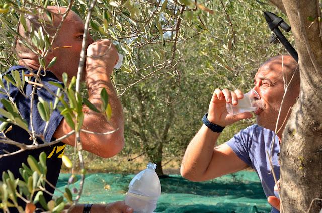 olio lucano_ olio di basilicata_Olive di Basilicata_ tetraktis_Pitagpra_ Metaponto_ Bernalda