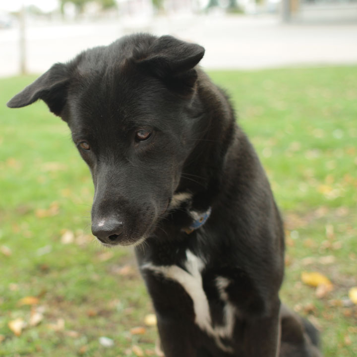 Australian Cattle Dog Mixed With Black Lab