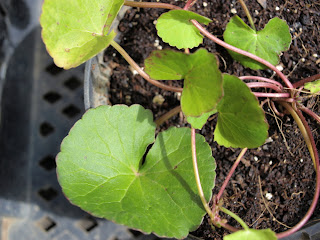 An image of a gotu kola (Centella asiatica) plant growing in a pot