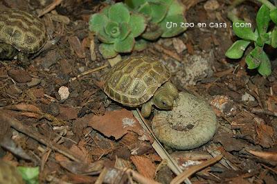 Cría de tortuga rusa