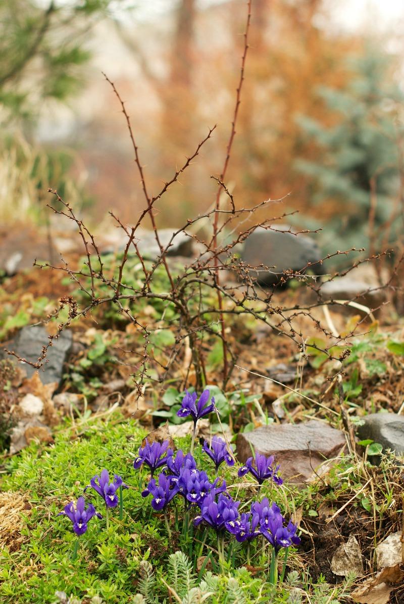 Iris silvestres y sedums