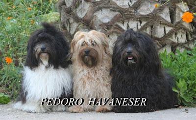 PEDORO HAVANESER DOK Augenuntersuchung