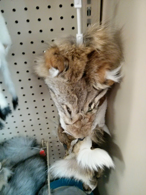 Several coyote faces clipped to a hanger