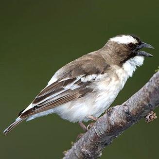 Burung pipit beralis putih