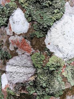 lichens sur stipe de palmier