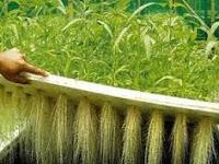 Tujuan menanam tanaman hidroponik