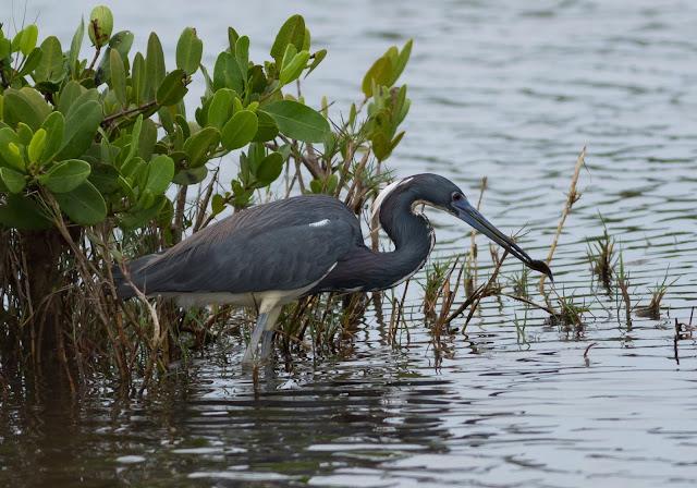 Tricoloured Heron - Merritt Island, Florida