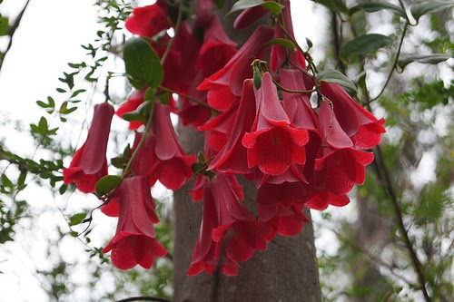 The Chilean Bellflower Lapageria Rosea The Garden Of Eaden