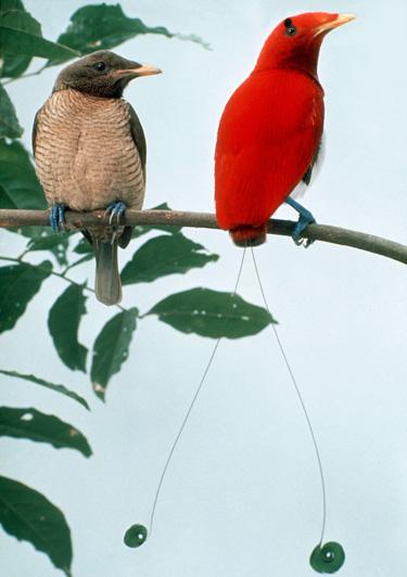 Berita Ilmu Pengetahuan Burung Cendrawasih Surga Bird Raja Nama Ilmiahnya