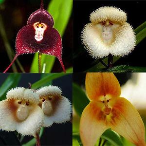 Monkey Orchid flower