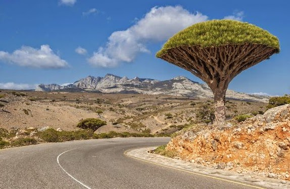 Dragon's Blood Tree