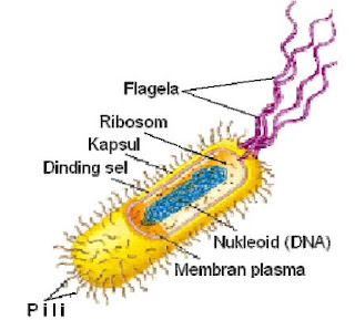 Sel bakteri prokariotik (Campbell et al, 2006).