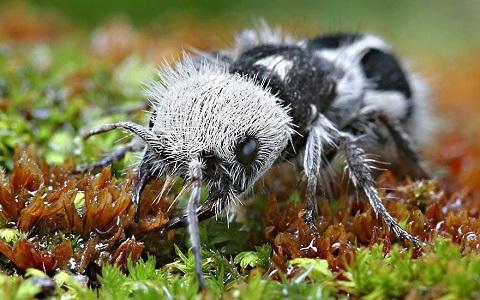 Panda Karınca Özellikleri (Mutillid) Hakkında