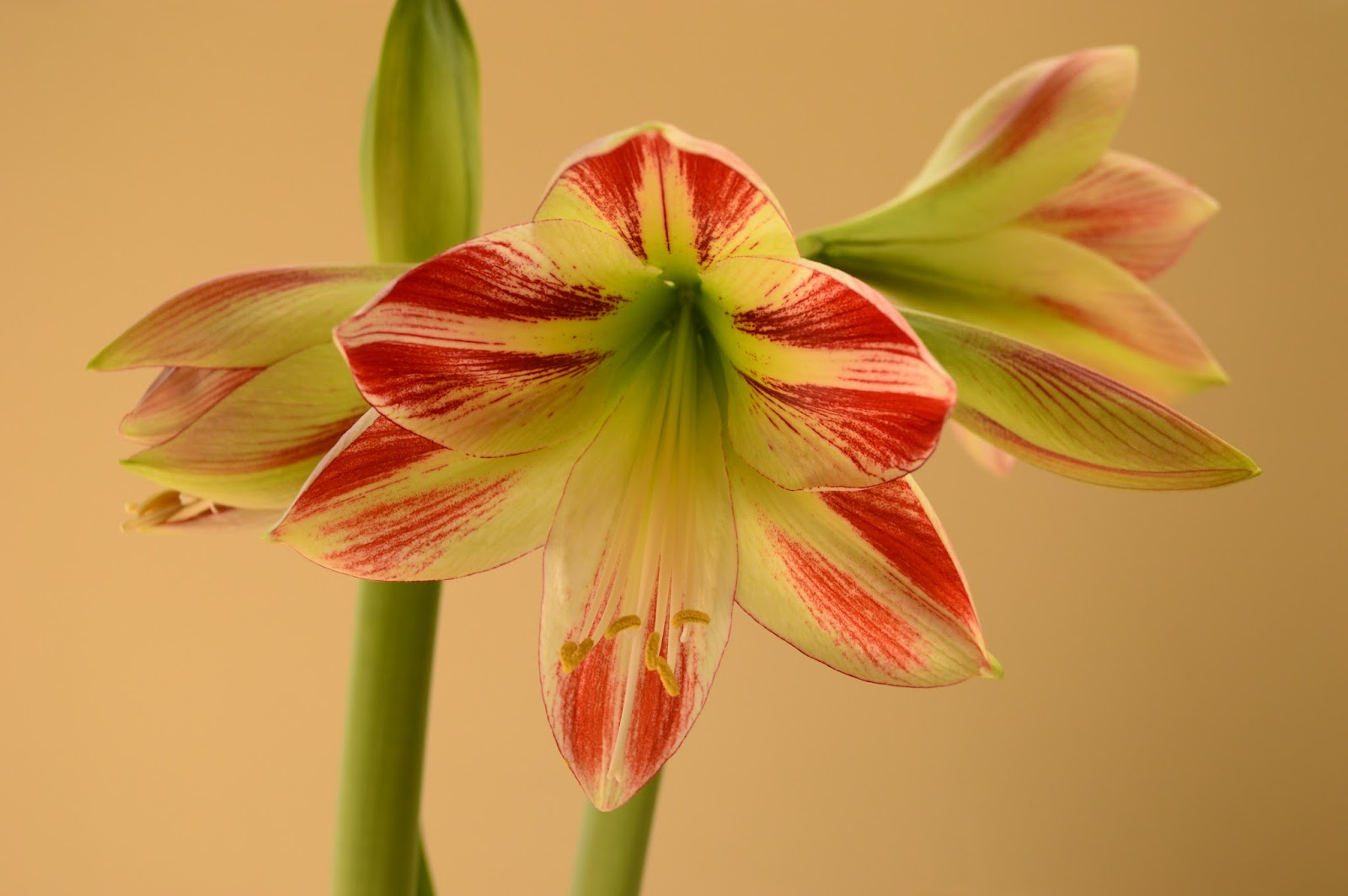 "Hippeastrum ""Ambiance"", Amaryllis ""Ambiance"", indoor flower bulb, Small Sunny Garden"