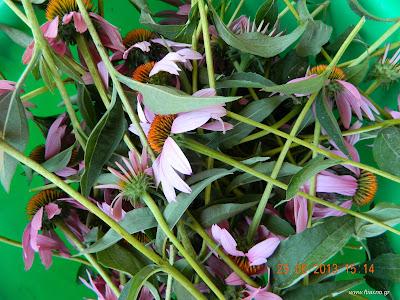 Εχινάκεια-Echinacea Purpurea