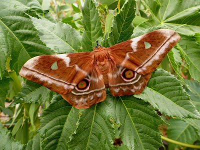 Imbrasia obscura female