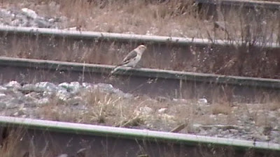 Snow Bunting Rides The Rails.