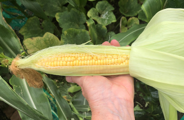 Hand holding a large freshly picked cob of sweetcorn, outer leaves pulled back to show the yellow kernels.