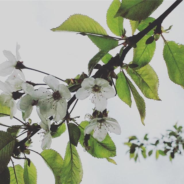 spring, planting, gardening, potager, printemps, grow your own, vegetables, no dig, de tout coeur limousin, limousin, creuse, potimarron, pumpkin, butternut squash, blossom, pea shoots,