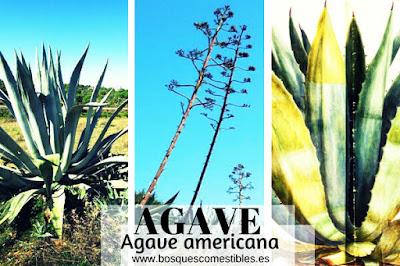 Planta Suculenta como los Cactus, se obtiene el Tequila, Fibra Natural