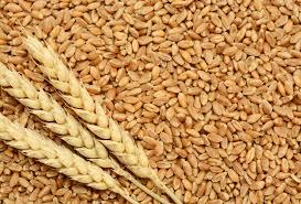 wheat(gandum) health benefits in urdu