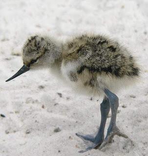 Recurvirostra avosetta chick