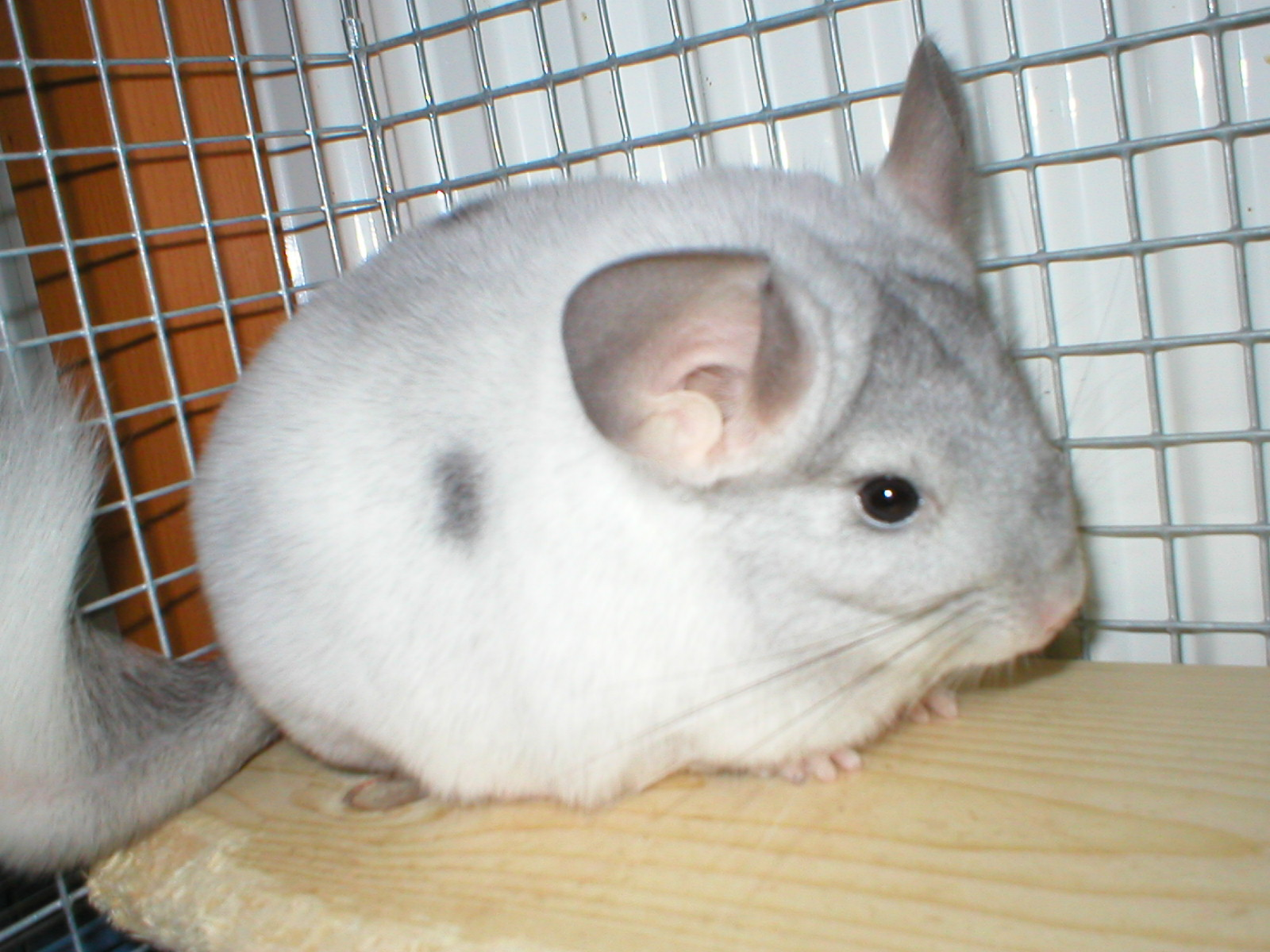 What Foods Can Chinchillas Eat