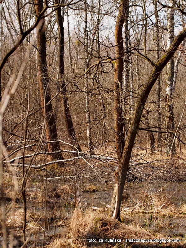 las bemowski, teren podmokly, mokradla, w lesie, wiosna