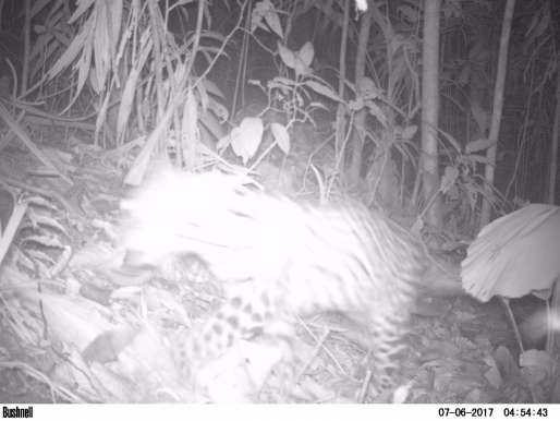 Primer registro científico de Jaguar en el Territorio CAR