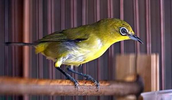 burung pleci berubah warna