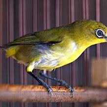 Cara Perawatan Bulu Burung Pleci Kusam Dan Berubah Warna