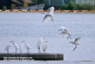 サギ3羽の着陸シーン写真