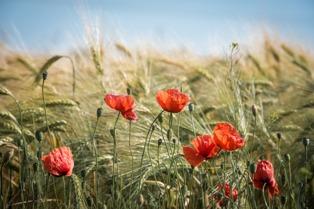 fiore del partigiano