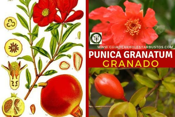 Punica granatum, Granado, árbol de la familia Lythraceae, género Punica
