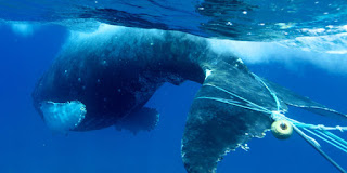 whale entangled in fishing gear, fishing gear, whale entanglement