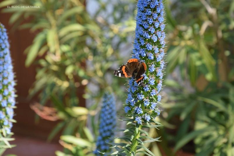 Echium acanthocarpum (tajinaste azul gomero) y mariposa Vanessa atalanta