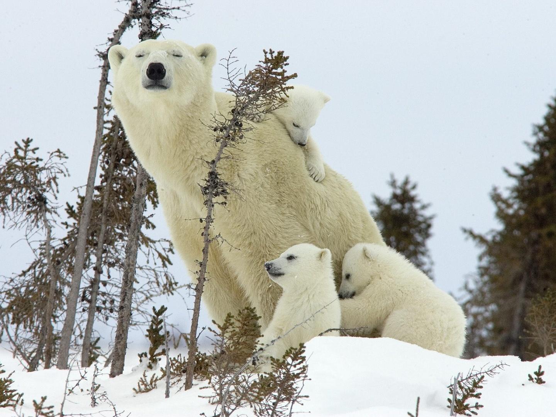 Imagenes De Osos Polares: IMÁGENES Y FOTOS DE ANIMALES: Osos Polares Bebés