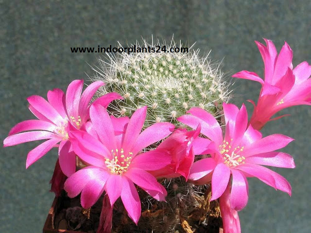 Red Crown Cactus (Rebutia minuscula) indoor plant image
