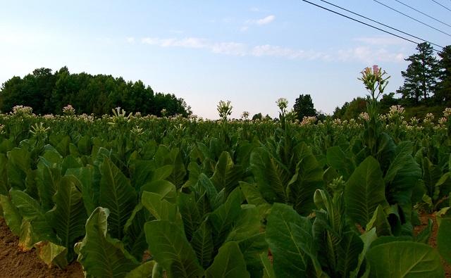 Plantación de tabaco Nicotiana tabacum