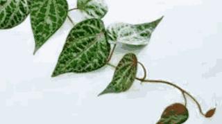 MAKALAH DAUN SIRIH MERAH (Piper crocatum Ruiz & Pav.)