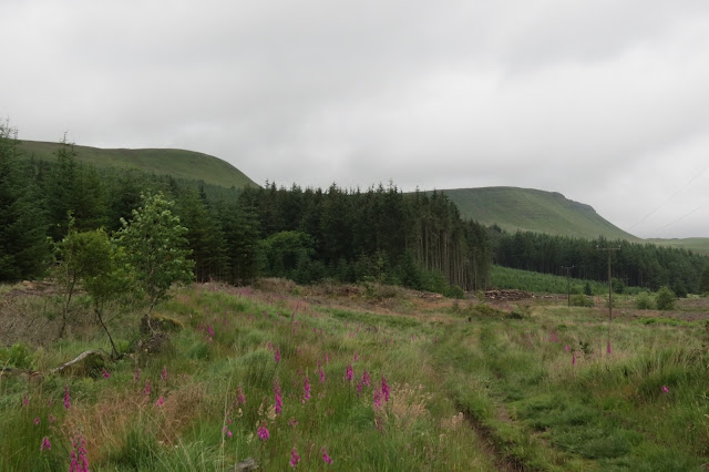 A clearing on the dge of the forest with the ridge of Graig Fan Ddu in the background.