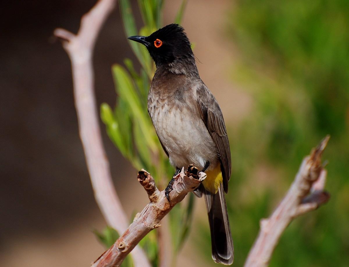 Pycnonotus nigricans