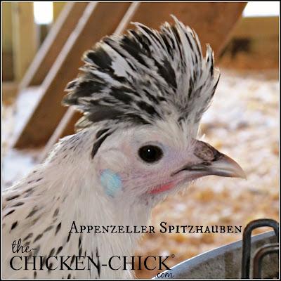 Appenzeller Spitzhauben pullet www.The-Chicken-Chick.com