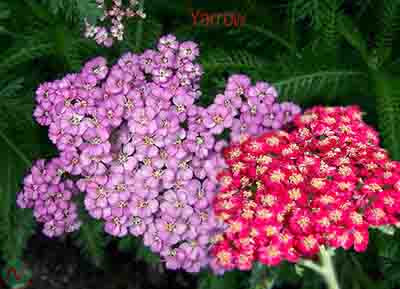 yarrow flower, yarrow